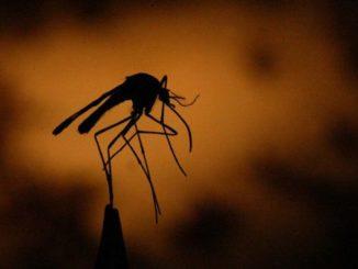 Le vecteur du paludisme d'adapte au changement climatique plus à l'aise