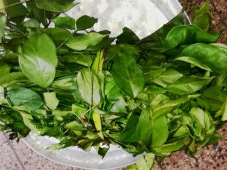 Plante médicinale utilisée en RDC